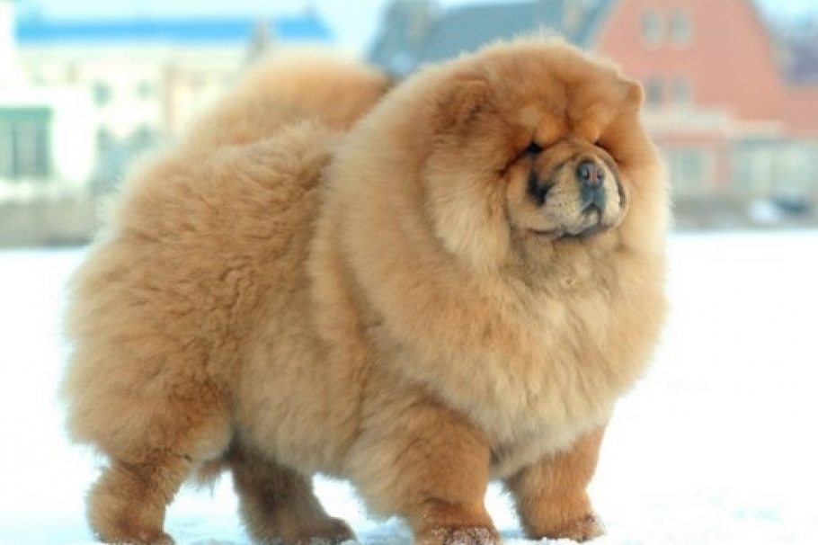 10 Dangerous Dog Breeds Most Likely to